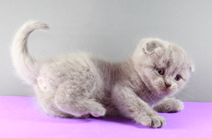 chiqui-venta-de gatos-scottish-lila.jpg